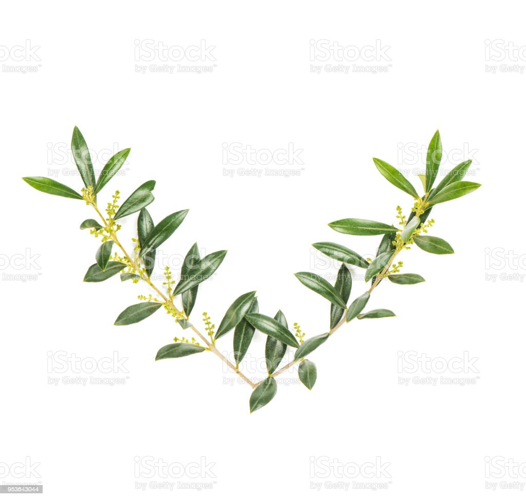 Olive Tree Branches Isolated White Background Green Leaves Stock