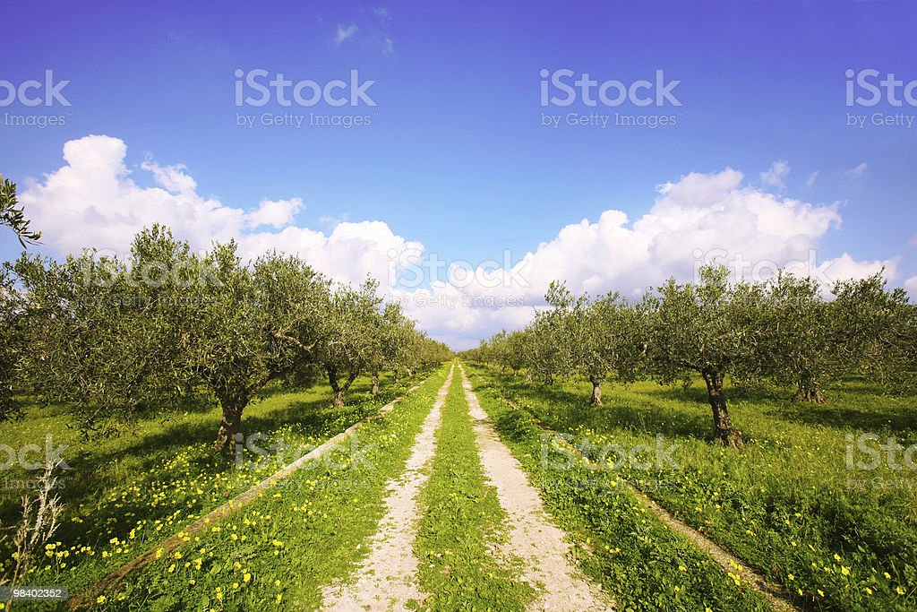 olive tree field royalty-free stock photo