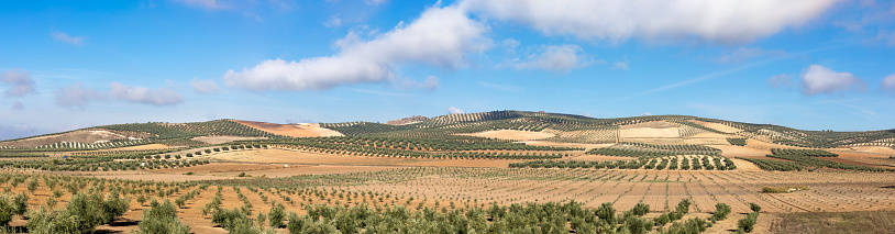 Panoramic view on Andalusian rural landscape with olive groves (Spain).