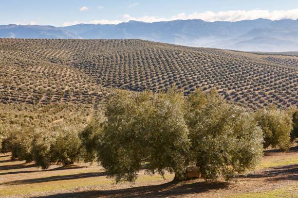 Olivenbaumfelder in Andalusien. Spanische Agrarlandschaft. Jaen – Foto