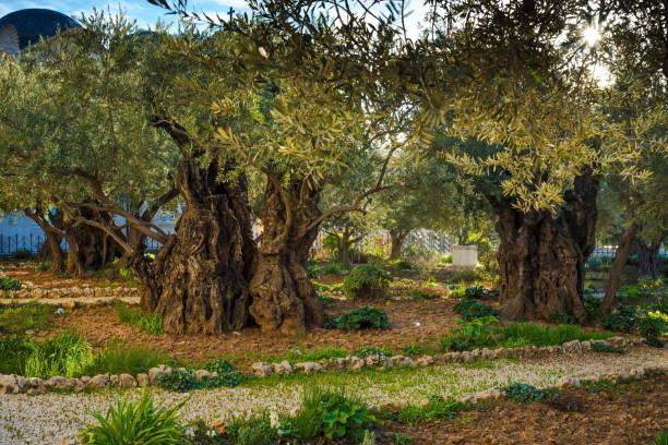 Olive tree garden - Gethsemane, Jerusalem stock photo