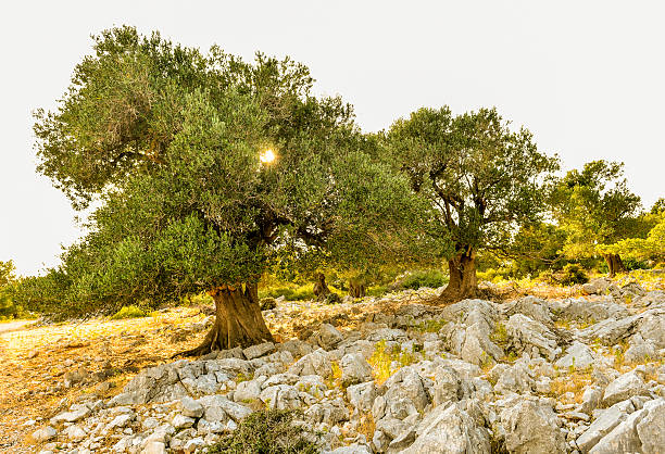 Olive tree garden in sunset or sunrise. - Photo
