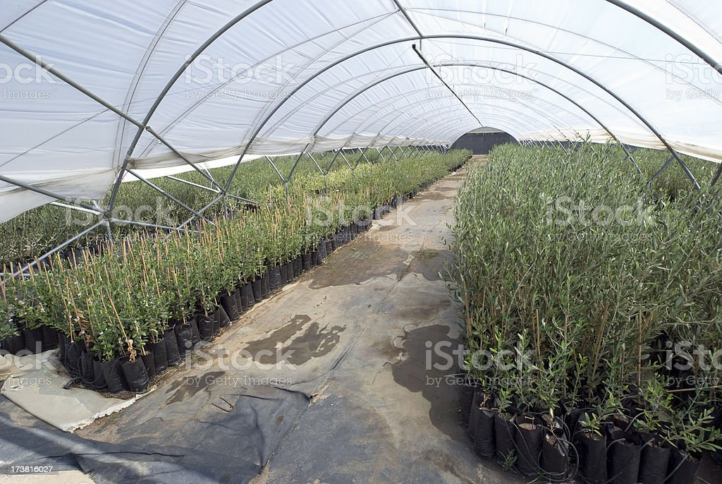 Olive tree greenhouse royalty-free stock photo