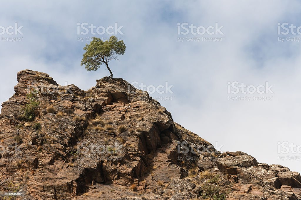 olive tree growing on rocks stock photo
