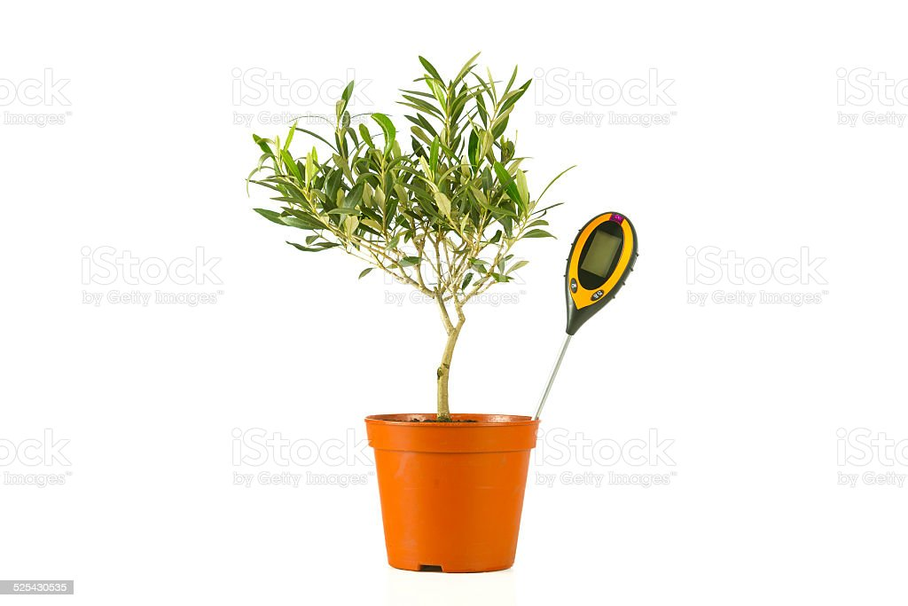 Olive Tree In A Pot With A Moisture Meter Stock Photo Download Image Now Istock