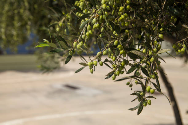 Olive tree in an olive orchard. Growing olive trees in agriculture. Fruit olives on a tree in the garden. – zdjęcie