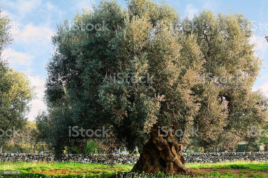 Olive tree campagne dans les Pouilles (Italie - Photo