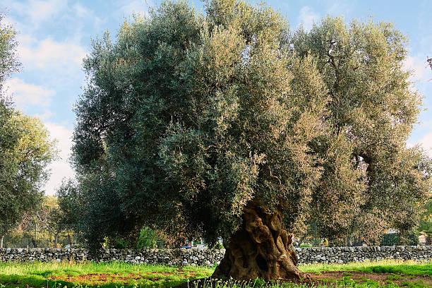 Olive tree in Apulien Landschaft (Italien – Foto