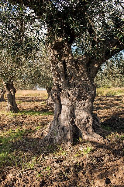 Olivenbaum in Landschaft – Foto