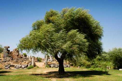 istock Olive tree in Ephes 94732988
