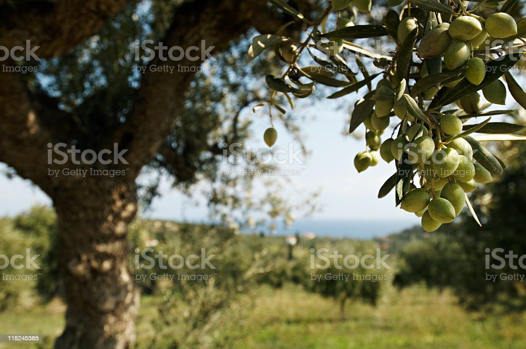 olive tree in greece stock photo
