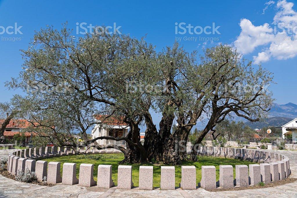 Olivo en Montenegro - foto de stock