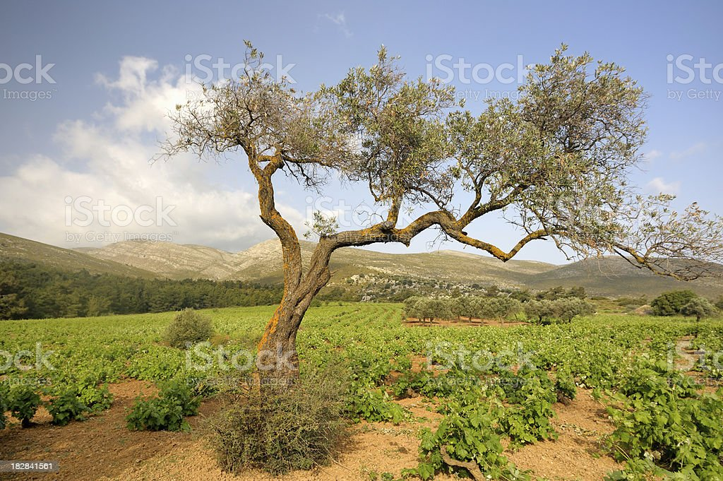 Olive tree in vineyard royalty-free stock photo