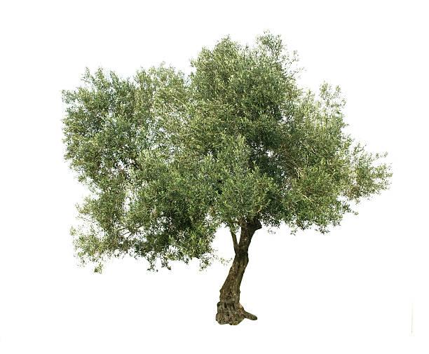 Cтоковое фото Оливковое дерево изолированные на белом фоне