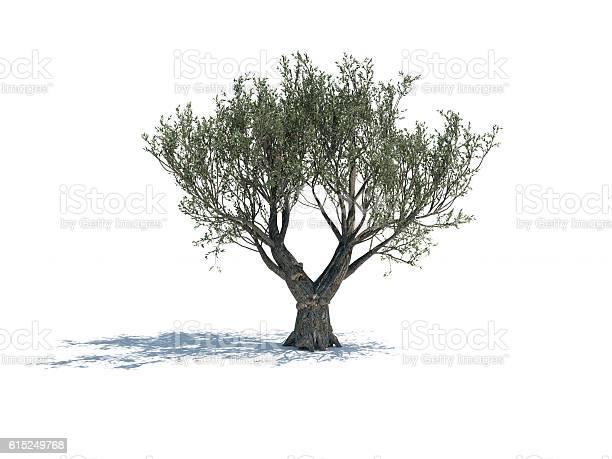 Olive tree isolated on white background picture id615249768?b=1&k=6&m=615249768&s=612x612&h=8e1e7yp id1 smkj9sair2azzbv8zkds dwhhtwcou4=
