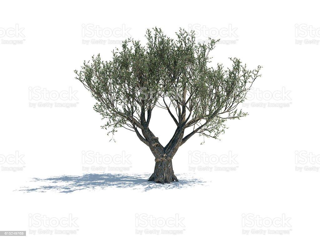 Olive Tree Isolated On White Background - Photo