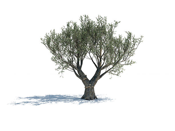 Olive Tree Isolated On White Background Olive tree isolated on white background. The tree is lit by sunlight and casting shadows on the ground. Clippping path is included. olives stock pictures, royalty-free photos & images