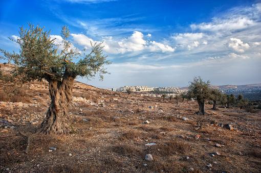 olive tree, olive wood, israel, palestine, beautiful scenery