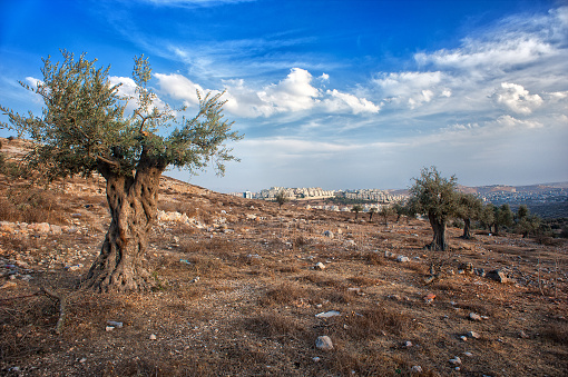 olive tree, olive wood, israel, palestine, beautiful scenery