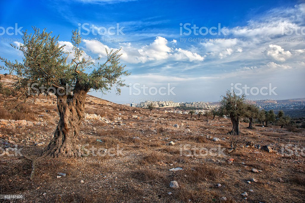 olive tree, olive wood, israel, palestine, beautiful scenery stock photo