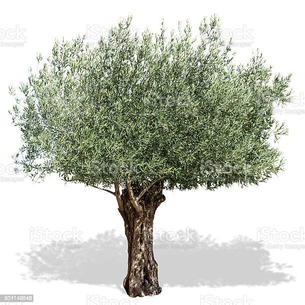 Olive tree on a white background picture id524149548?b=1&k=6&m=524149548&s=612x612&h=apx2mmtktysdyviu3vnfmeke6qmykmq1w u3ntgyc5e=
