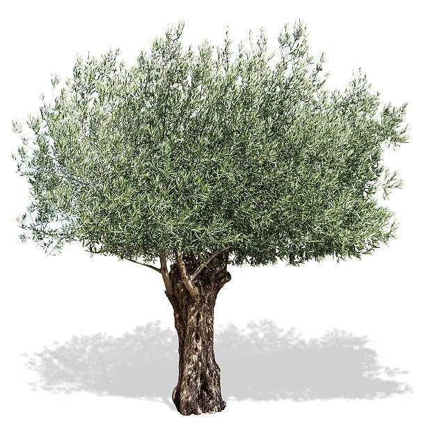 Olive tree on a white background. Olive tree on a white background. Clipping paths. olives stock pictures, royalty-free photos & images