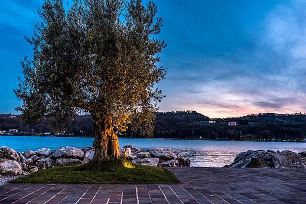olive tree on the lake Garda at sunset foto