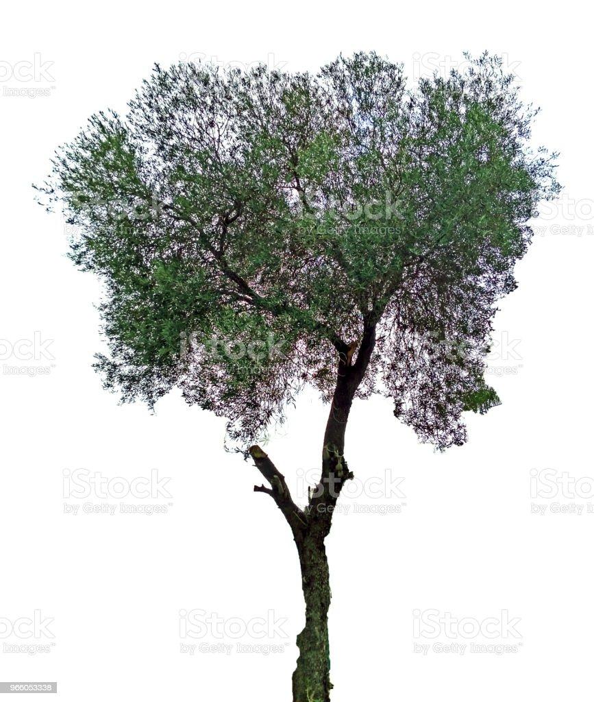 Olivenbaum auf weißem Hintergrund - Lizenzfrei Baum Stock-Foto