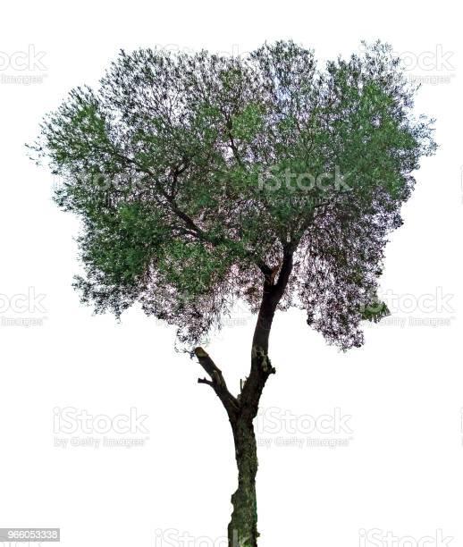 Olivenbaum Auf Weißem Hintergrund Stockfoto und mehr Bilder von Baum