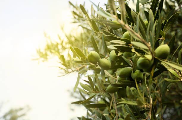 olive tree - ramoscello d'ulivo foto e immagini stock