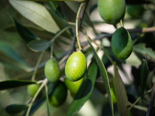 Olive tree  – Foto