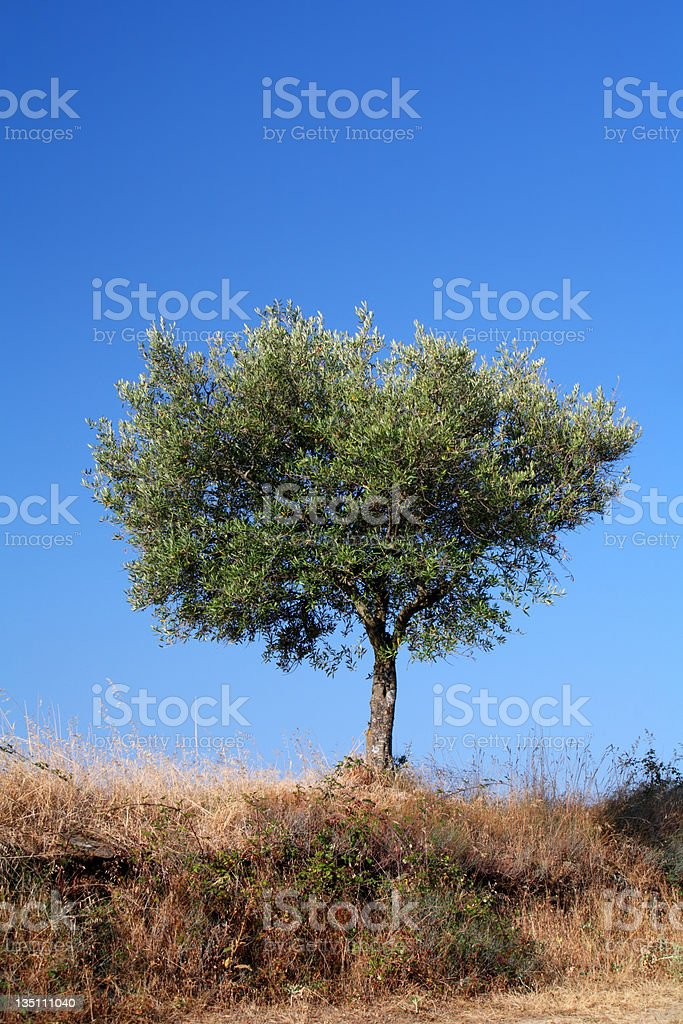 Olive Tree (Portugal, Freixedelo) royalty-free stock photo