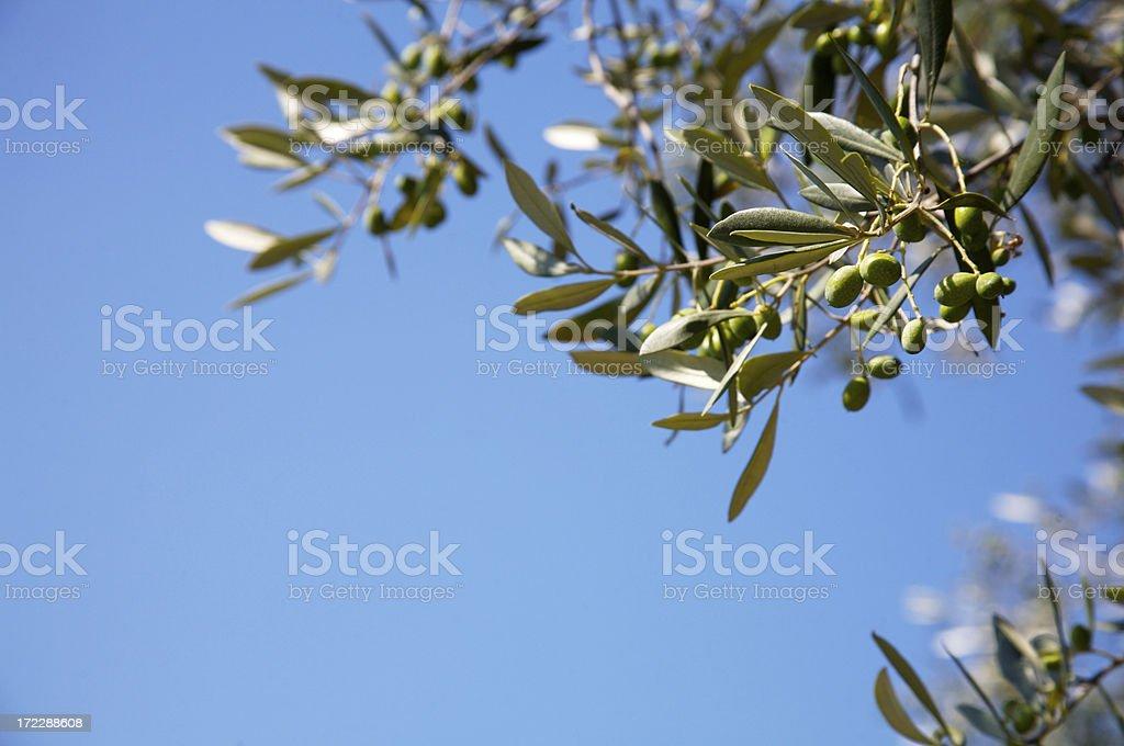Olive tree royalty-free stock photo