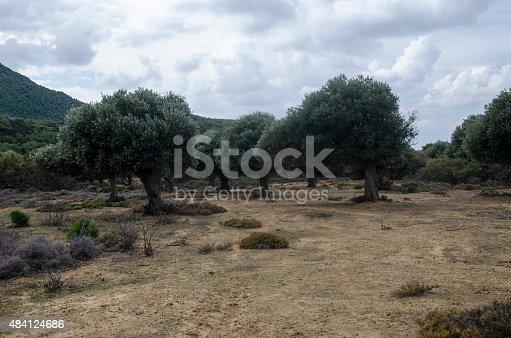 1135138312 istock photo Olive Tree 484124686