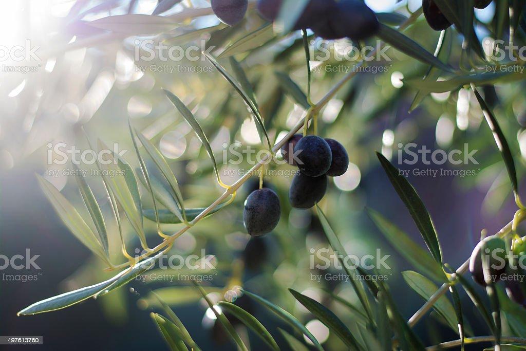 Olive tree foto