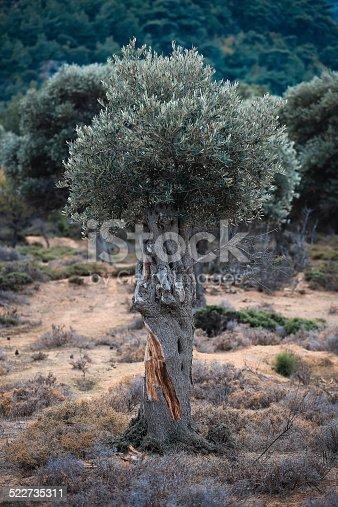 1135138312 istock photo Olive tree 522735311