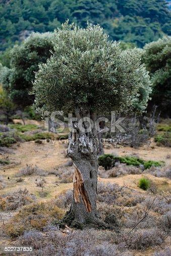 1135138312 istock photo Olive tree 522737835