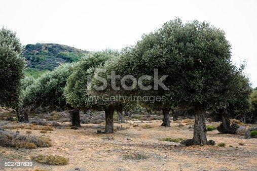 1135138312 istock photo Olive tree 522737839