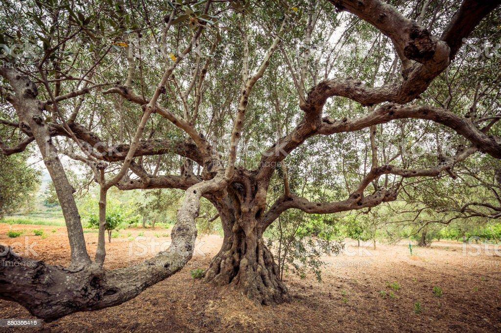 Olivier tree  - Photo