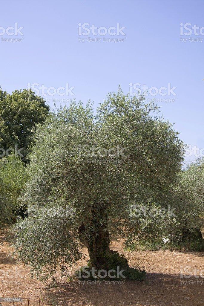 Olivier Tree photo libre de droits