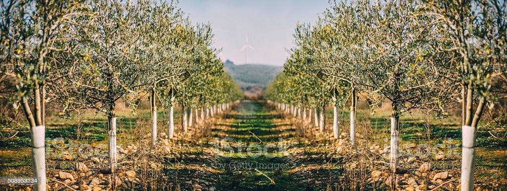 Olive tree plantation - Photo