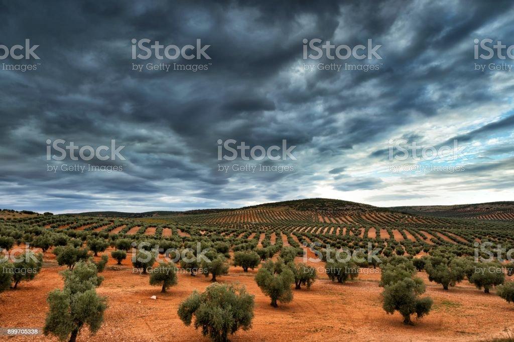 Olive tree plantation stock photo