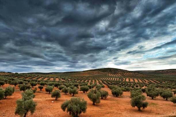 Olive tree Plantage – Foto
