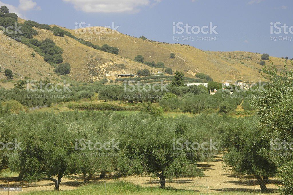 olive tree planting royalty-free stock photo