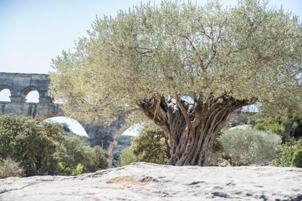 olive tree pont du gard - pont du gard stockfoto's en -beelden