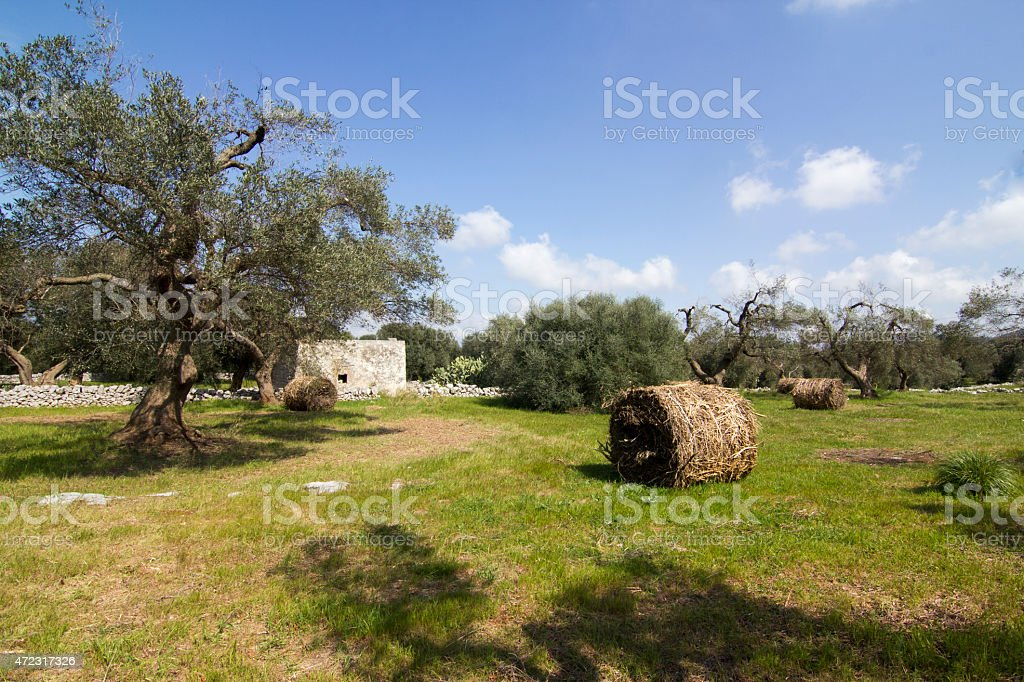 Olive tree Puglia stock photo