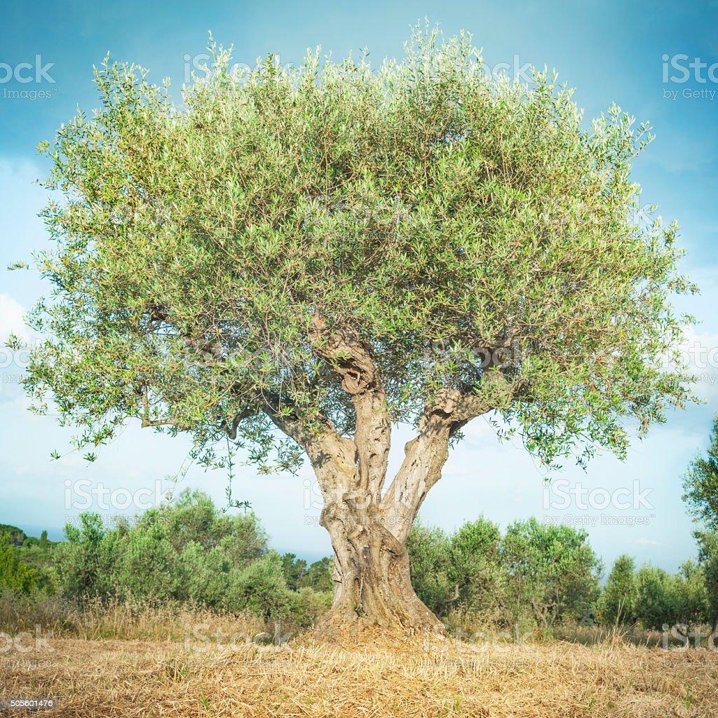 Olive tree and blue sky. Tuscany, Italy.