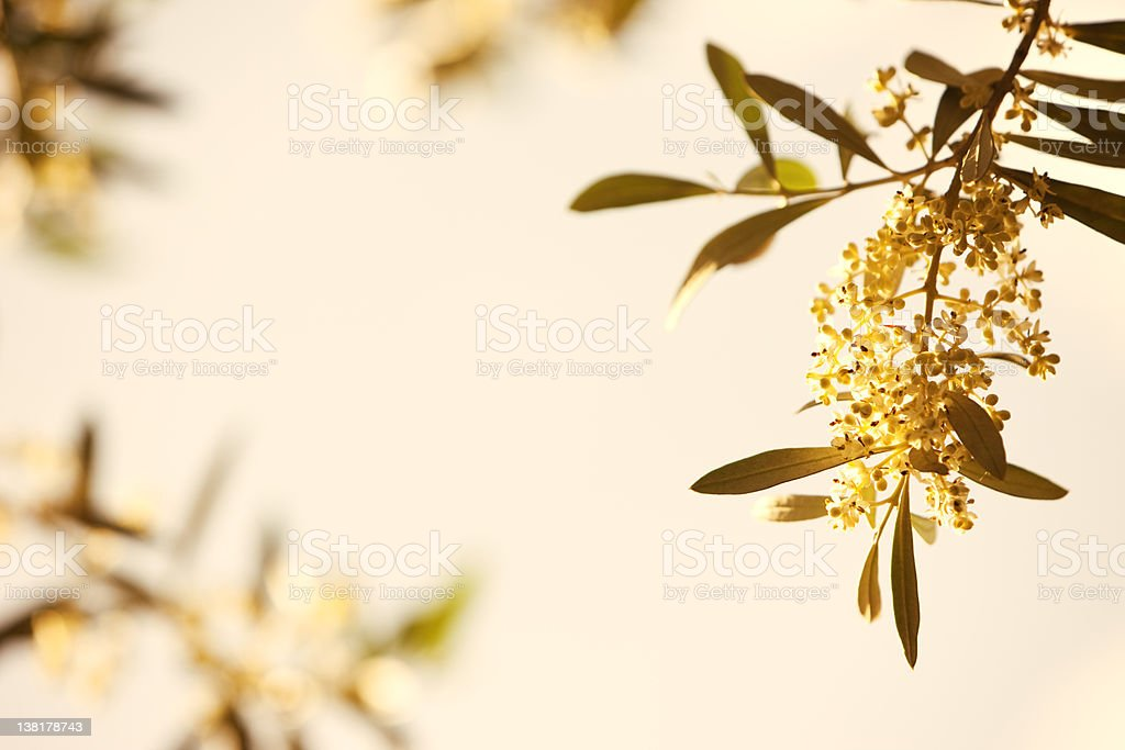 Olive tree with flowers at dusk royalty-free stock photo