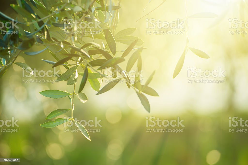 Olive tree with leaves stock photo
