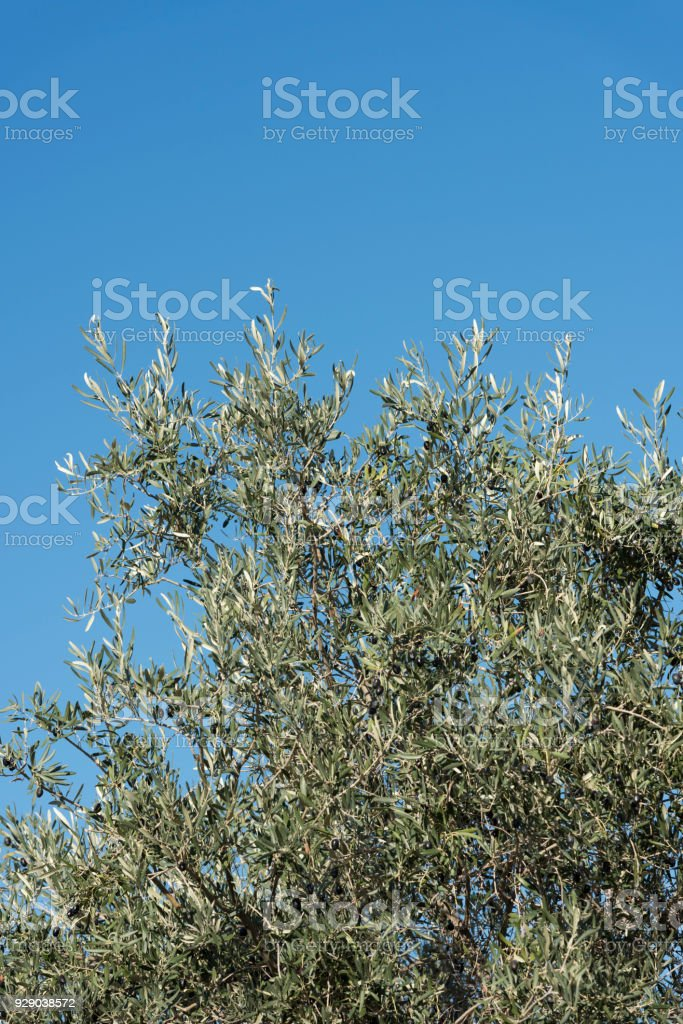 Olive tree with ripe olives and blue sky stock photo